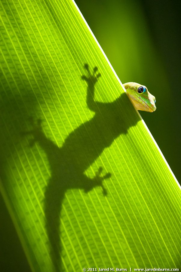 lovely little gecko - photo by Jared Burns
