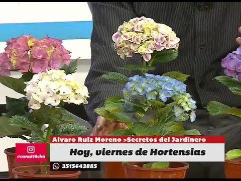 Secretos de los colores y los cuidados de las Hortensias. YouTube