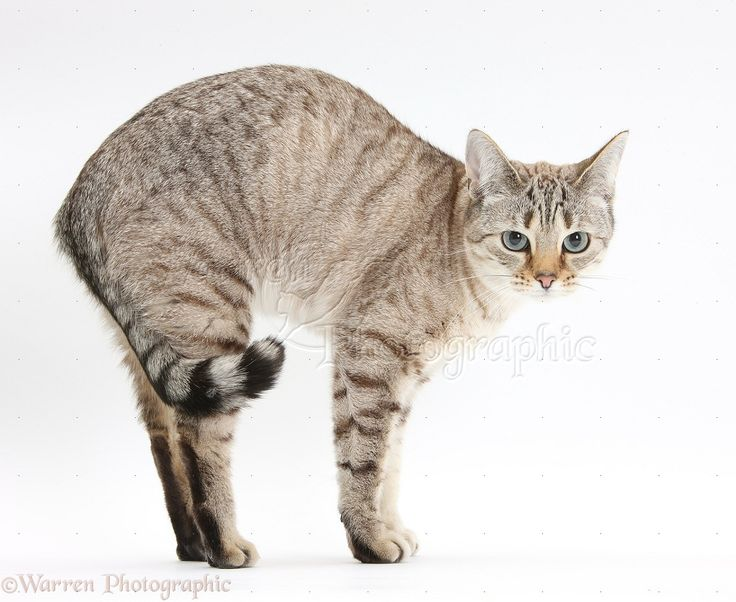 Snow Bengal with arched back. 猫