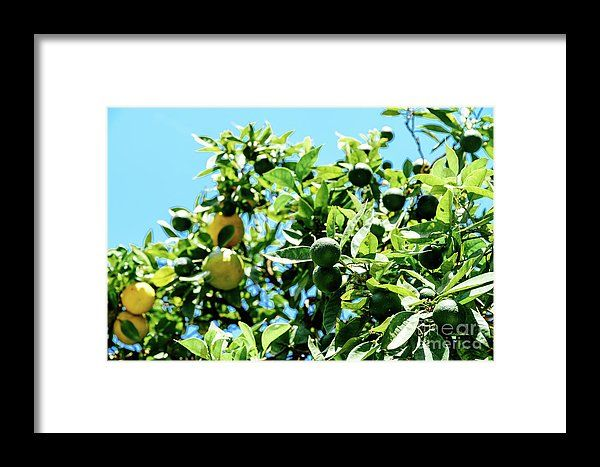 Green And Ripe Oranges In Orange Tree Framed Print