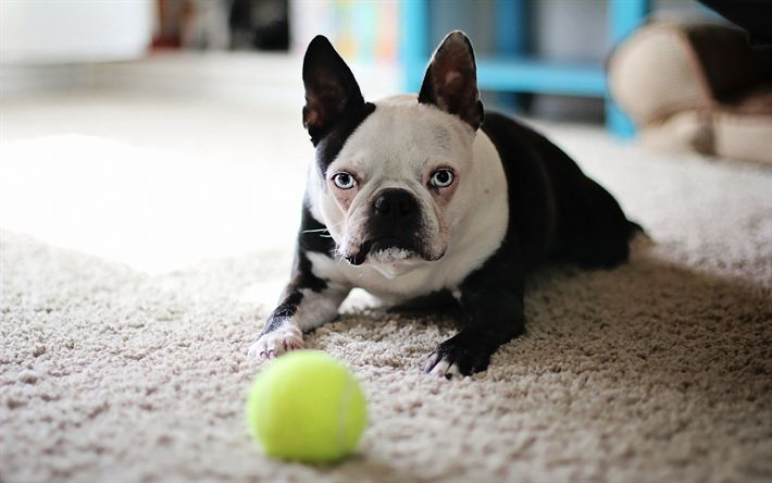 Download wallpapers 4k, Boston Terrier Dog, pets, dogs, funny dog, cute animals, Boston Terrier