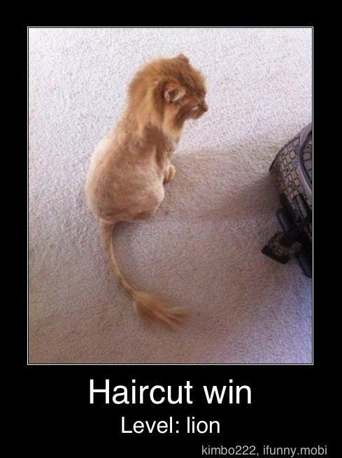 """Lots of people I know are getting the """"Lion Cut"""" for their medium to long hair cats this summer.  They say their cats act like kittens again after the cut.  I might get one for my cat."""