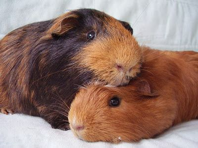 This is what my guinea pigs do at the end of each day