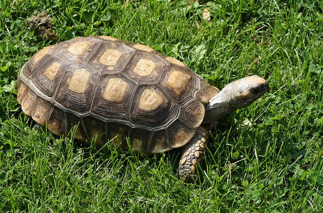 The Yellow-Footed Tortoise is one of the most popular and beloved tortoise breeds in the pet trade.