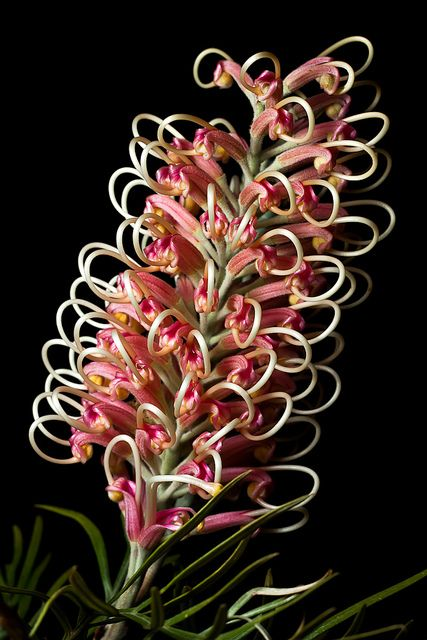 "Grevillea ""Pink Surprise"" 