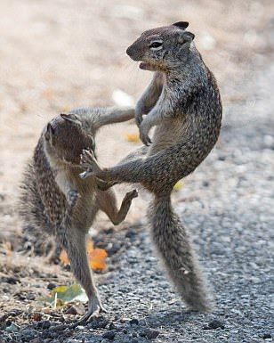 """Squirrels: """"Kung-fu Fighting!""""                                                                                                                                                      More"""