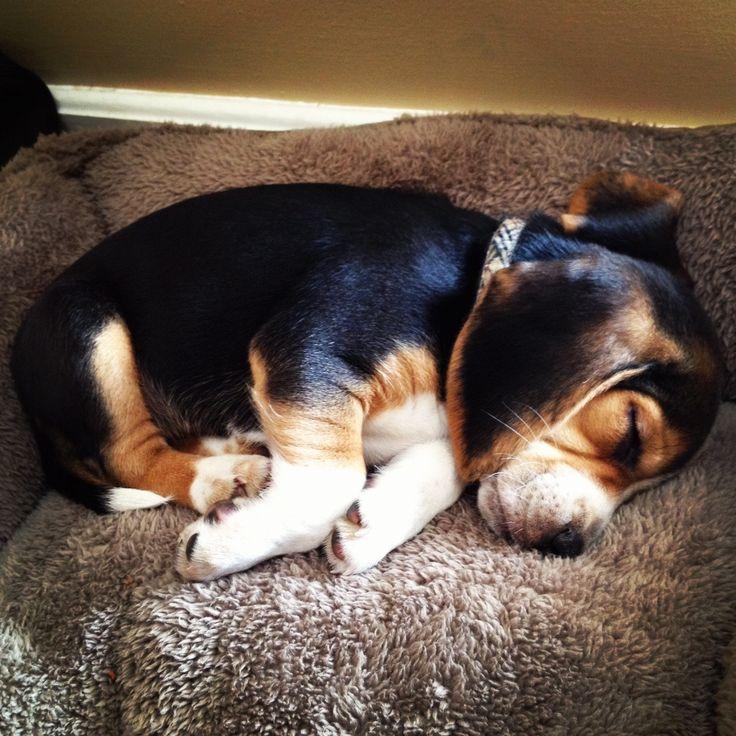 mira a sushi @Pedro PINeda PINeda PINeda Villarroel jajaja sleeping beagle pup