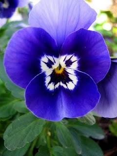 blue pansy                                                                                                                                                                                 Mais