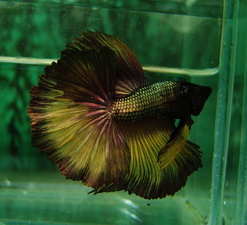 1509 best images about pretty bettas on pinterest for What is a beta fish