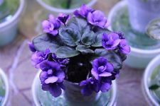 African Violet Rob's Fuddy Duddy semi miniature 2 leaves
