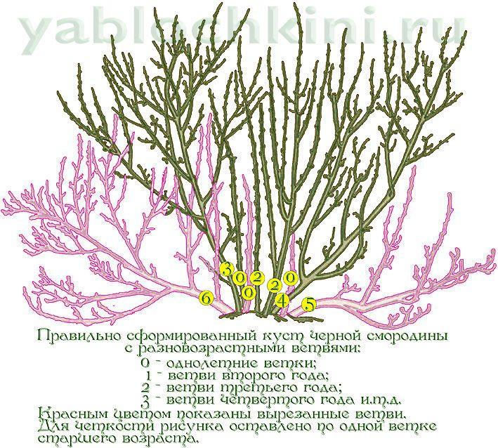 обезка-красной смородины