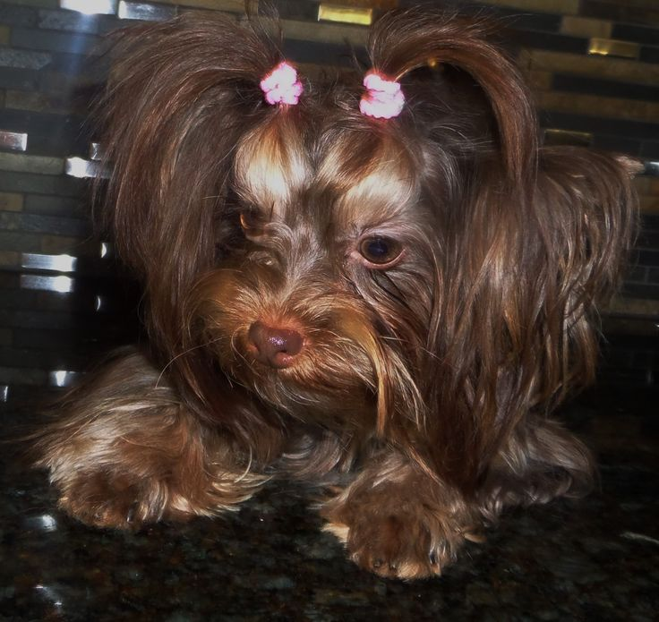 Cuddlebug Yorkies -available puppies-Champion bloodlines-AKC-quality Yorshire Terrier pets