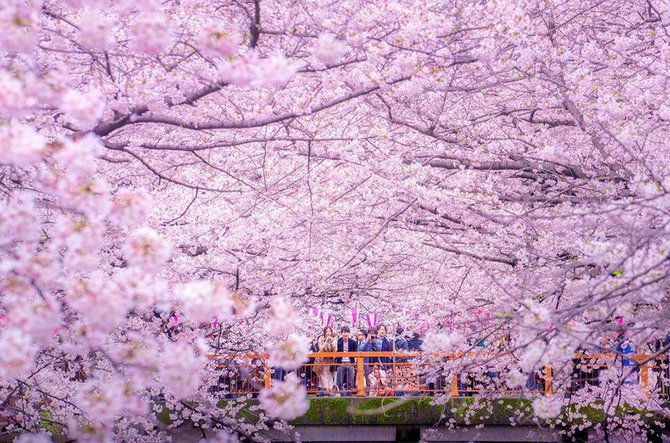 Menikmati Indahnya Sakura Mekar Di Jepang Dari Mata Drone Merdeka Com Cherry Blossom Petals Cherry Blossom Cherry Blossom Painting