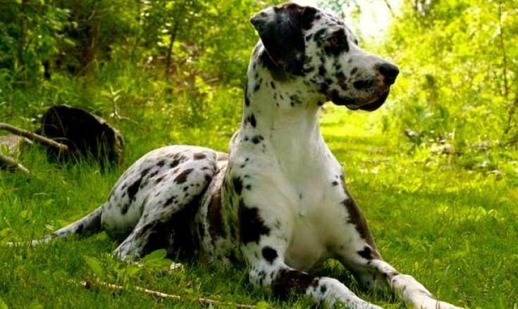 Educación y cuidados que necesita el perro dogo alemán