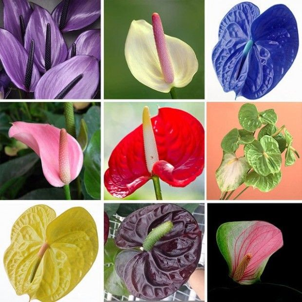 12 Lessons I Ve Learned From Anthurium Flower English Name Anthurium Flower Flower Seeds Rare Flowers