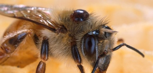 ... now it seems that the dangerous varroa-mite was mainly responsible for the death of approx. 300k (out of only 1m!) bee colonies in Germany during winter 2011/12 :(: Biggest Factors, 10 000 Bees, Bees Death, Honeyb Die Off, Honeyb Dieoff, Bees Colonial, Honey Bees, Bees Die, Pesticid Aren T
