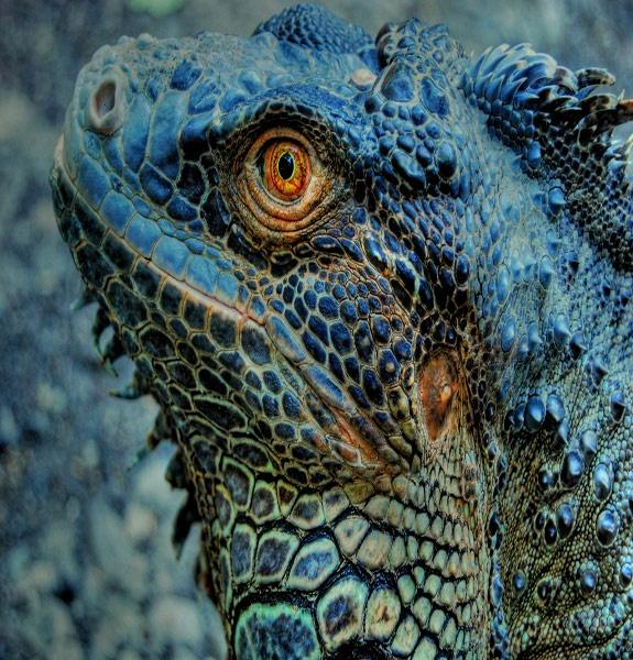 Blue Iguana.