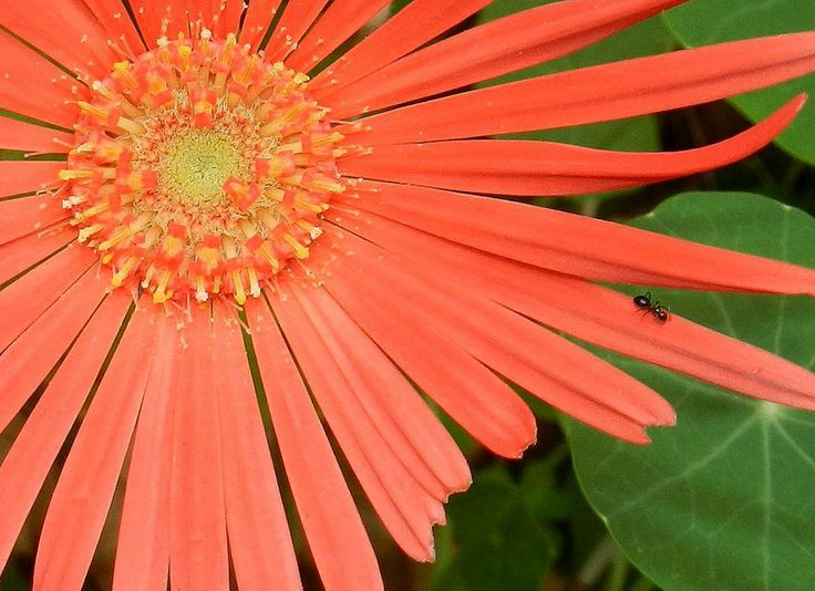 Barberton Daisy with ant
