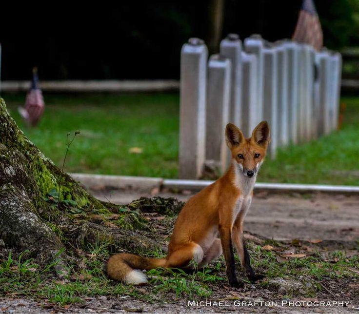 Photogenic fox to bid farewell to Savannah's Bonaventure Cemetery
