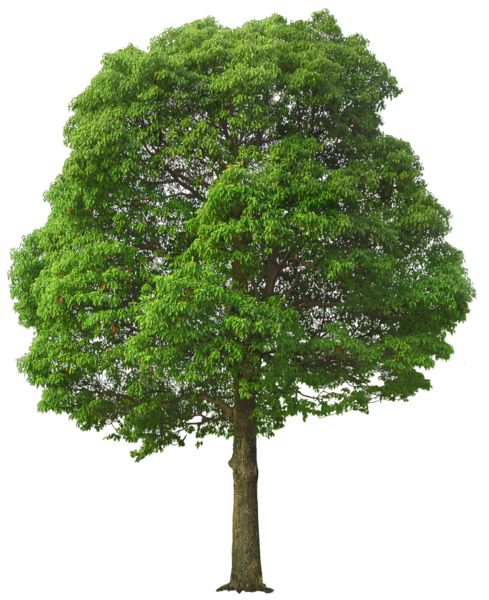 Large Green Tree PNG Picture