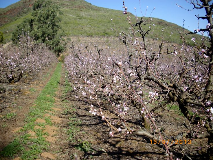 First peach blossoms for the new season.