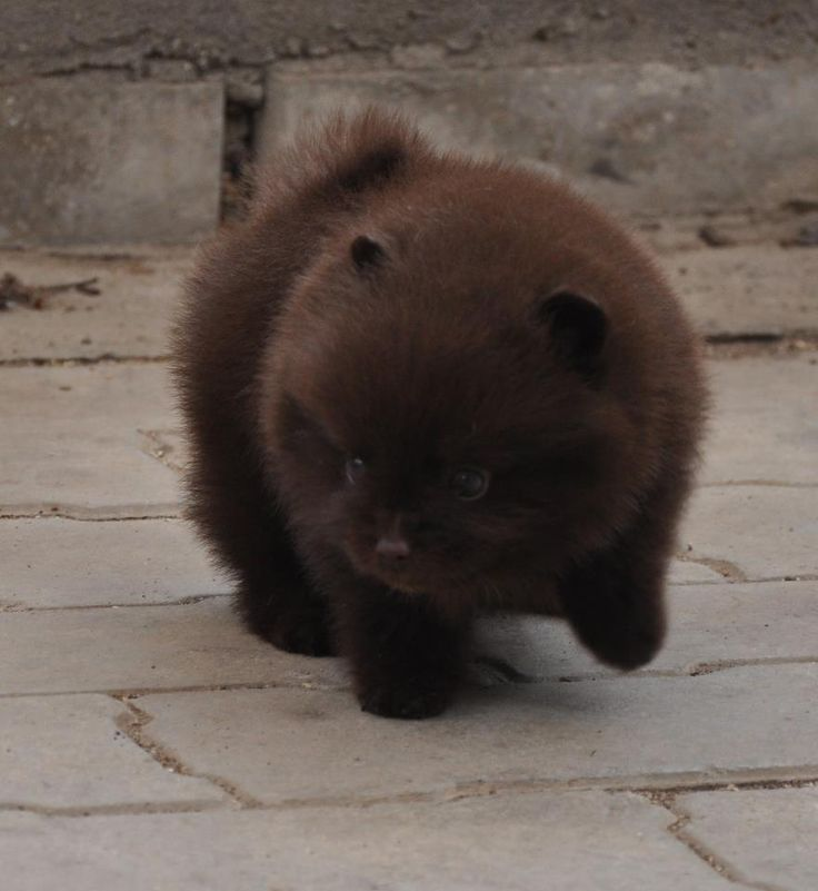 Chocolate Pom puppy (looks like a bear cub to me)