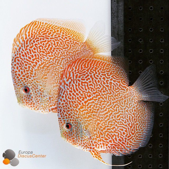 1000 images about discus fish on pinterest discus fish for Best place to buy discus fish