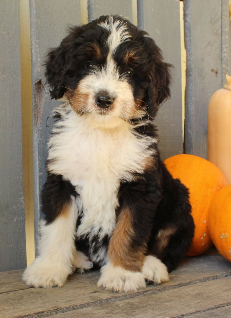 Cheerful Puppy Bernese Mountain Dog For Sale In Queensland