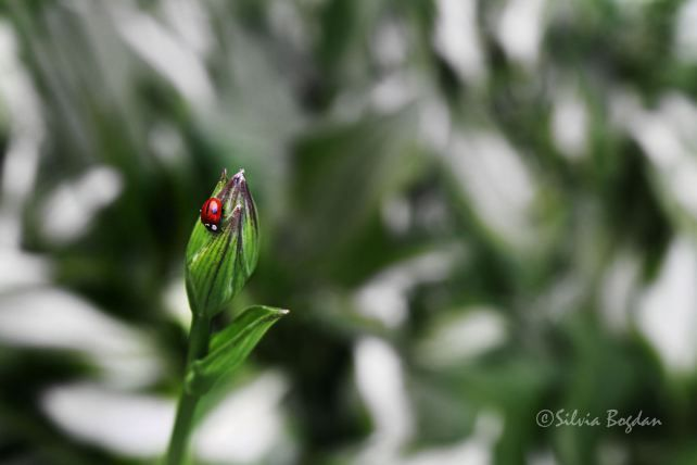 The lady beetle