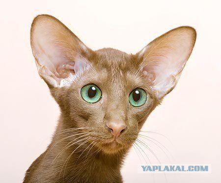 Десятка самых популярных пород кошек в США.