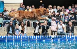 TWA-0054306 © WestPix Dog Zonje jumps as far as he can across a pool of water in front of a crowd at the DockDogs arena. Zonje currently leads the competition. Perth Royal Show 2016. 25 SEPTEMBER 2016 Picture: Danella Bevis The West Australian