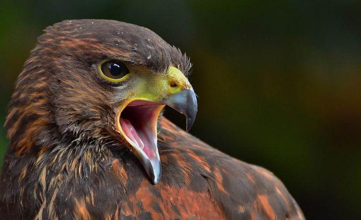 stunningAnimal Pics, Birds Of Prey, Animal Pictures, Beautiful Animal, Animal Photography, The Eagles, Hawks, Golden Eagle, Animal Photos