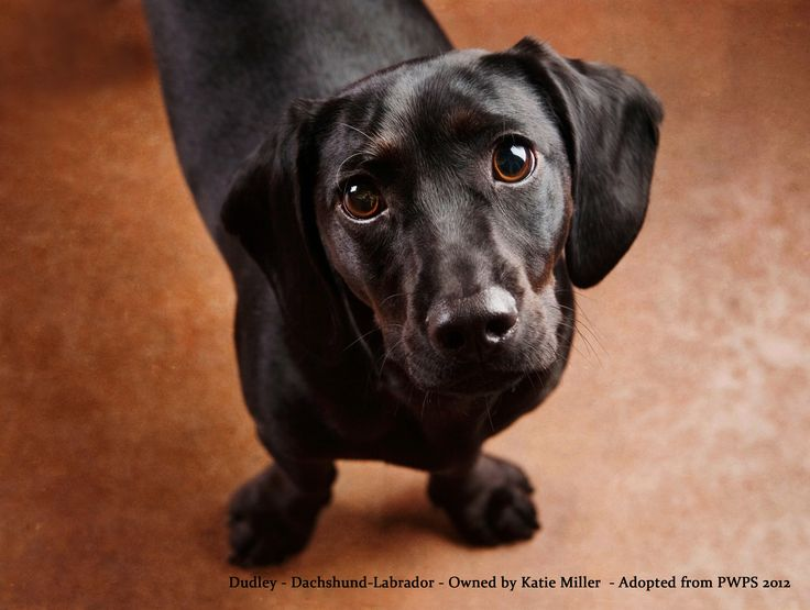 Mr. August - Dudley the Dachshund / Lab Mix – Adopted from Pets