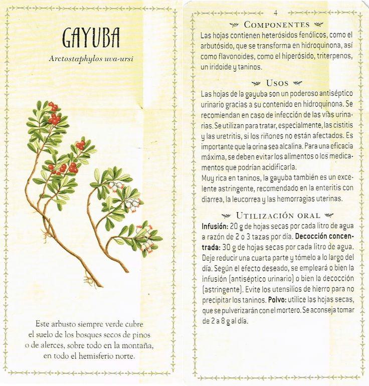 Gayuba ( planta de los ángeles) http://digeon.net/gayuba-planta-los-angeles/