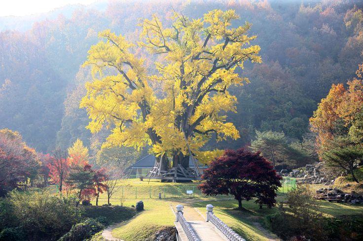 용계은행나무