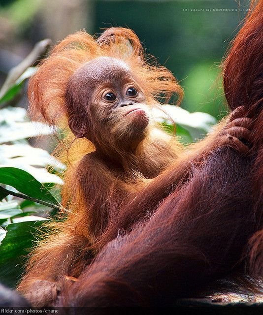 Orangutan baby. Between the hair and the expression, this might just be the pinnacle of all cuteness!