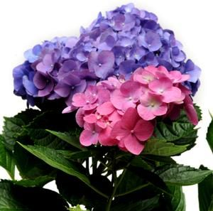 L.A. Dreamin' Hydrangea is the first H. macrophylla to show blue, pink and everything in between on the same plant without any aluminum sulfate or special fertilizer. It is a great reblooming Hydrangea, similar to the Endless Summer series and Nantucket Blue Hydrangea!