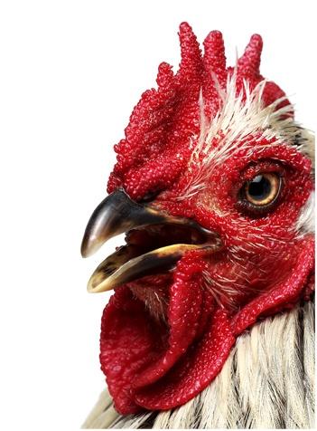 andrew zuckerman - rooster