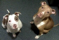 Pit love!: Pretty Pitties, Free Spay Neuter, Hello Bully, Puppy Faces, Adoptable Pets, Bully Offers, Pittsburgh Area