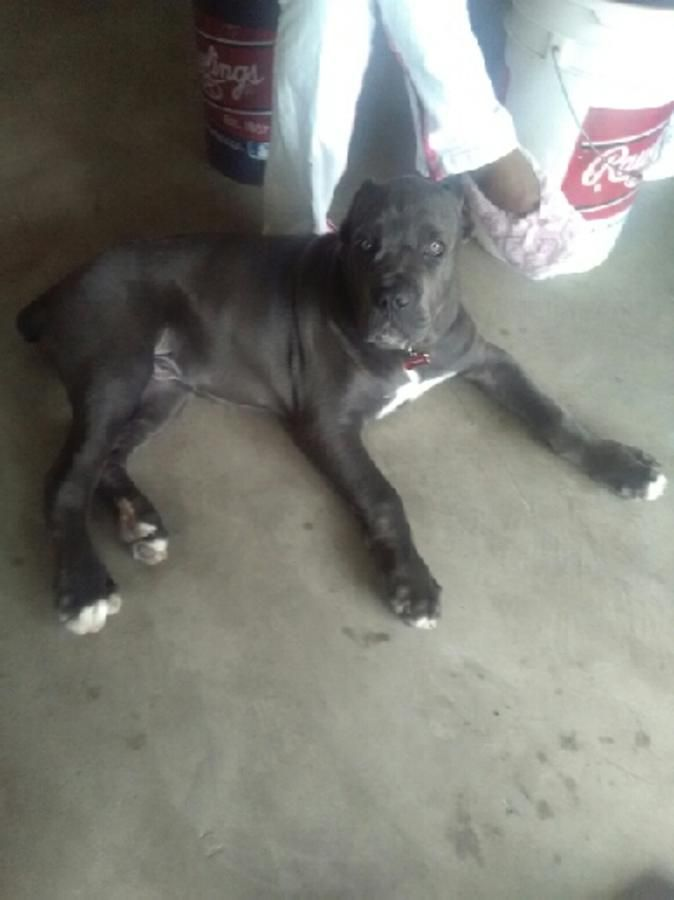 Iccf and Akc  dual registered  italiano Cane Corso Pups ($1500-$1800) prices include full Breeding a...