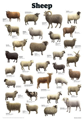 Sheep - Guardian Wallchart Prints  I've seen charts for cats and dogs, but not sheep.