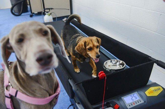 В США набирают популярности фитнес заведения для собак . Очередной спортклуб под названием «Frolick Dogs» был открыт в городе Александрия, дрессировщиком Кевином Джиллиам. Владельцы четвероногих считают, что это великолепный способ помочь животным быть в форме. Собаки за 50 $ в месяц имеют неограниченный доступ к помещению в 1800 квадратных метров, с кондиционерами, беговыми дорожками для укрепления лап, игровыми шарами, дрессуре и комплексу веселых препятствий и тоннелей.  #puller…