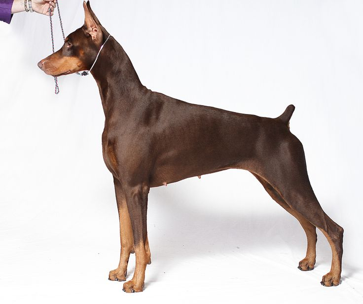 AKC Gazette breed column—Anti-breeding ways of thinking distract people from remembering that it's through the breeding of good dogs that the breed exists and continues. In the 1970s the Doberman P...http://akcdoglovers.com/2014/11/18/the-doberman-breeder-an-endangered-species/