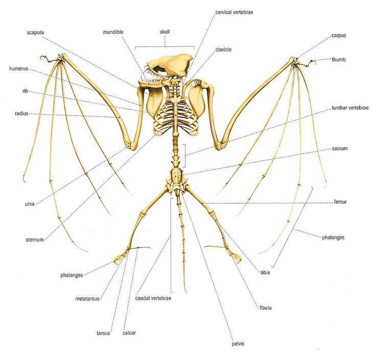 Bat wing skeleton - photo#32