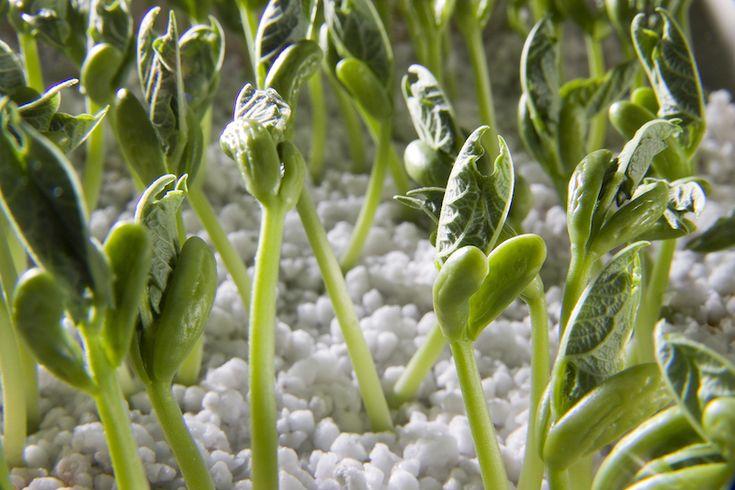 bean-sprouts-perliet