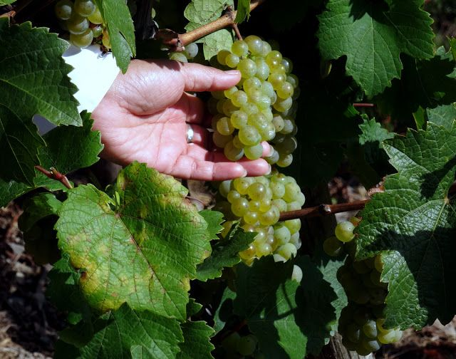 Riesling grapes in the Moselle River