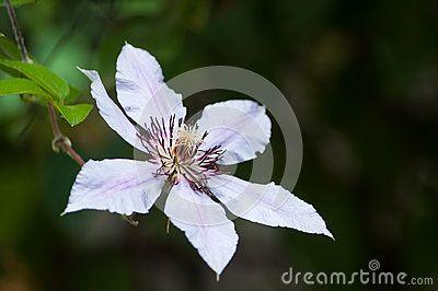 Close-up of white Clematis flower, in garden.
