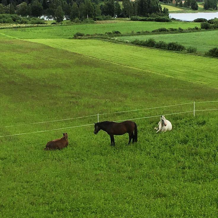 Just now! View from our office window 💕 #myllymuksut #countryside #countrylife #horsegram #finland #kesä #juupajoki #finnishorse #heinäkuu #july #landscape