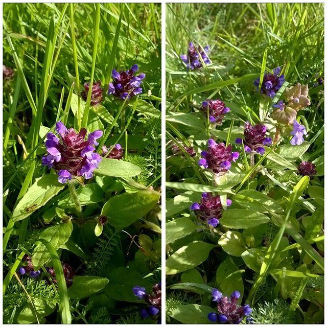 """Maahumalaa olen jo kerännyt """"tee""""aineksiksi, mutta tänä vuonna ajattelin kerätä myös #niittyhumala'a. Olisikohan parempi kerätä kukinnan aikaan vai myöhemmin? Violetti väri olisi kiva saada talteen #hortajuoma'an. Lehtiä voinee kerätä milloin vaan. #luontopiha #kukkivapiha #hullunakasveihin"""
