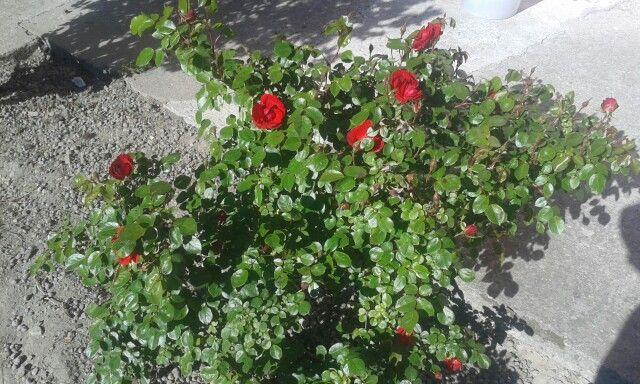 Le mie rose. ..